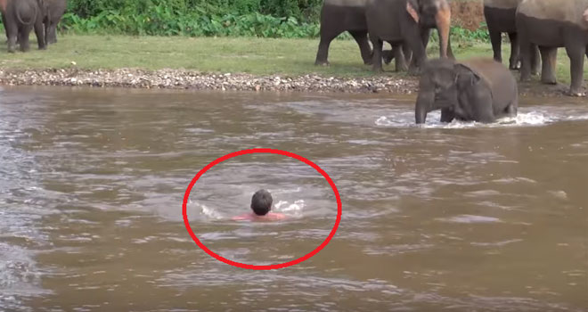 elephant-rescues-drowning-pas