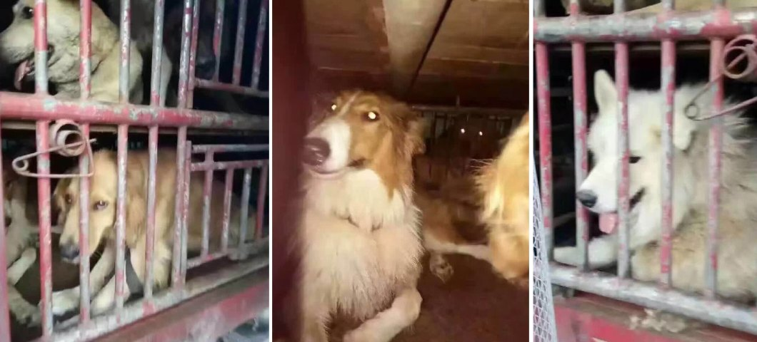 saved-from-the-slaughterhouse-dogs-11