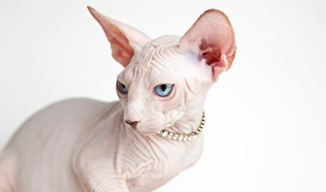 She was sure that she had bought a Sphynx cat. When he brought it to a vet she found out the terrible truth about the animal! 3