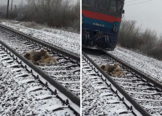 A dog watched over his injured partner by the tracks. When a train drove by, something unexpected happened! 3