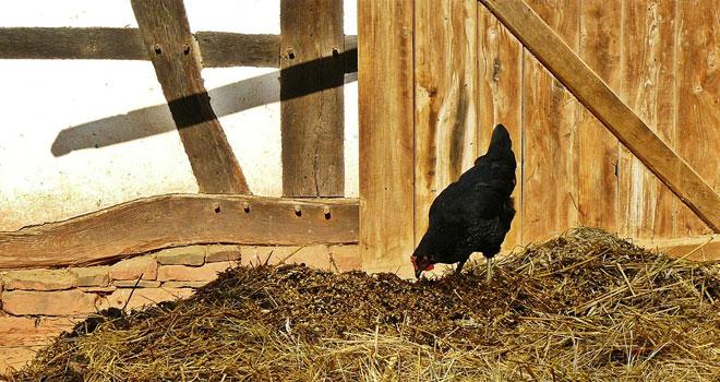 By zaspokoić popyt hoduje się kurczaki, które tylko w 51% składają się z mięsa! Jadł je niemal każdy, bo sprzedaje się ich aż... 60 tysięcy ton rocznie!