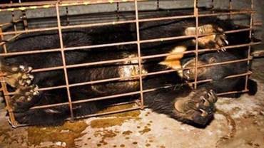 Horror w Azji! Okrutnie męczą niedźwiedzie, aby pozyskać z ich organów żółć. Te obrazy mówią same za siebie!