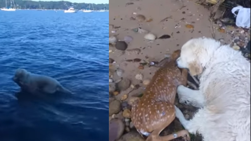He saw a drowning deer and jumped to help her. This recording is conquering the internet because it shows how big of hearts animals have! 3