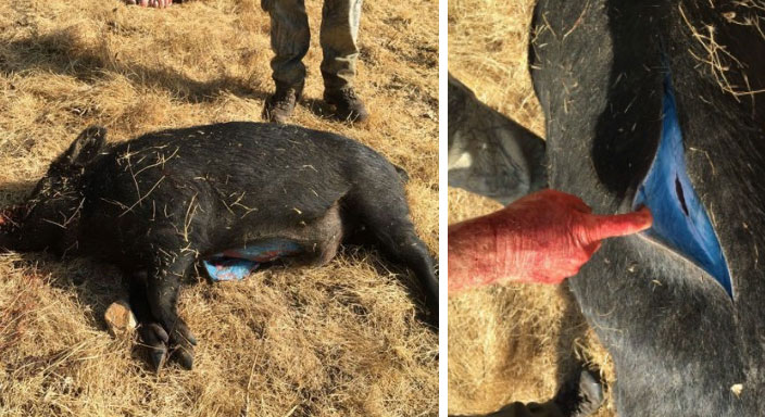 American farmers hunted a common boar, but when they cut it open, they could not believe their eyes: the animal was blue inside! 4