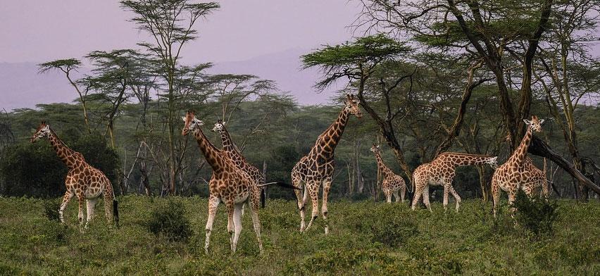 Po raz pierwszy udało się sfilmować białe żyrafy w ich naturalnym środowisku! To bardzo niecodzienny widok