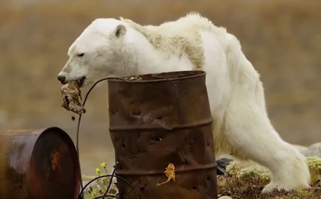 This heart-rending video about a starving polar bear brutally shows how global warming destroys wildlife 2