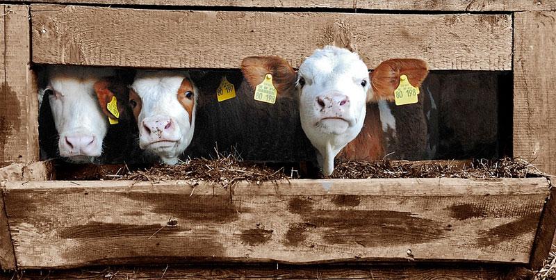 """""""Tak zaniedbanego zwierzęcia jeszcze nie widzieliśmy"""" - mówili wolontariusze po uratowaniu świnki, która była zamknięta w chlewie przez... 11 lat!"""