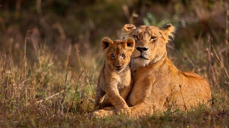 Z myśliwego zmienił się w zwierzynę. Mężczyzna polujący na lwy w RPA padł ofiarą stada. Karma wróciła?
