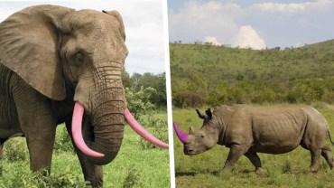 Nosorożce i słonie z różowymi kłami. Farbowanie zwierząt poszło o krok dalej