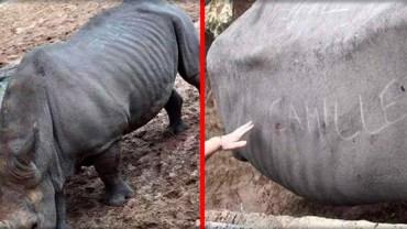 Turyści wycięli na grzbiecie nosorożca swoje imiona! Jak głupim trzeba być, żeby tak postąpić?