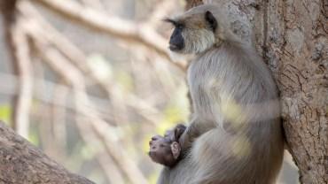 """""""Wiedziała, że go nie ma, ale nie była gotowa, by w to uwierzyć, ani zaakceptować"""" – małpia mama opłakuje zmarłe młode"""