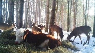 Cielątko uniknęło rzezi, uciekając do lasu! Zaopiekowała się nim grupa jeleni