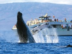 Whale jumping out of water in Maui