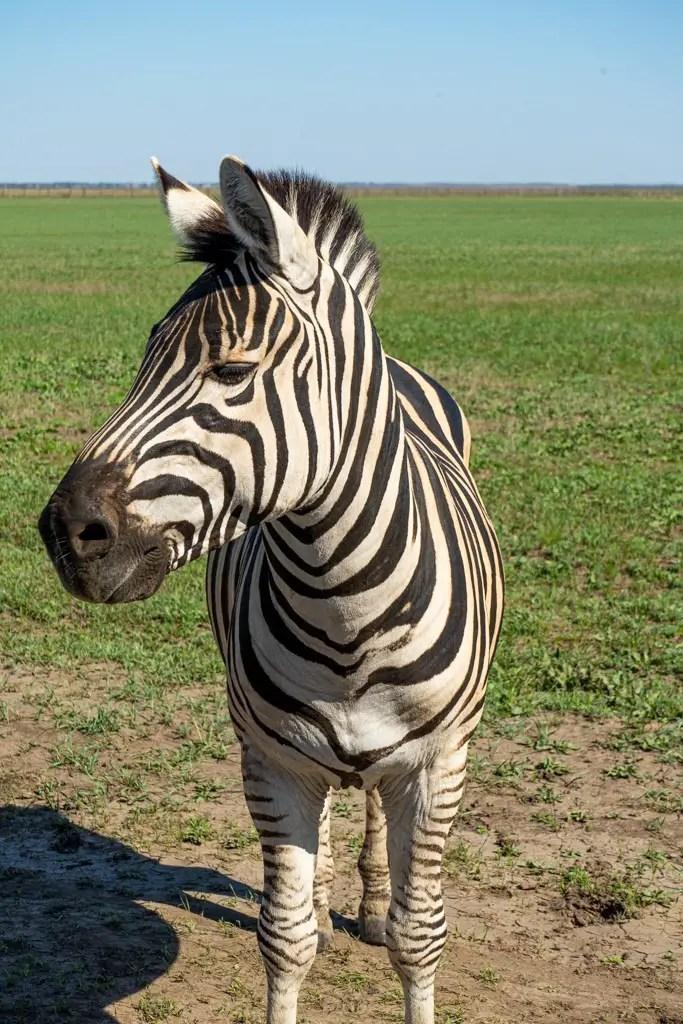 Zebra, Askania-Nova