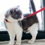Paomo Harnais et harnais pour chat avec sangle de poitrine réglable et boucle de sécurité pour marcher en plein air, convient aux petits et moyens et grands chatons Rouge