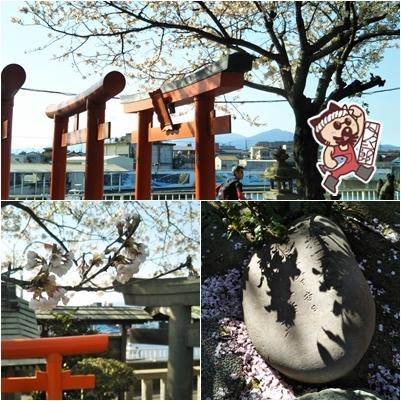 平塚漁港須賀港港稲荷神社付近桜