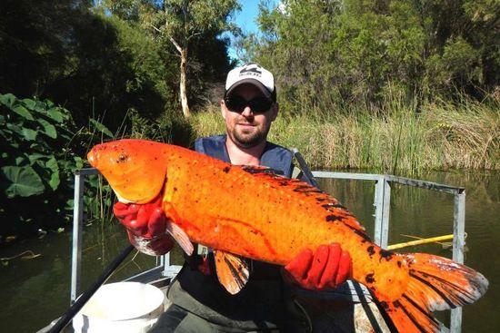 澳洲西部出現長達1米巨型金魚 威脅本土魚(圖)
