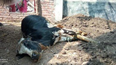 Photo of ঝিনাইদহে গরুর ক্ষুরারোগে আতঙ্কে খামারী