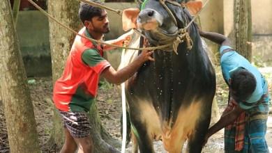 Photo of ঝিনাইদহের 'নেইমার'র ওজন প্রায় ১হাজার কেজি
