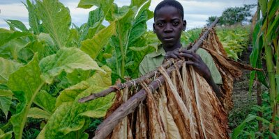 Child Labour Zimbabwe tobacco farms