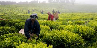 Heavy rainfall cotton earnings drop