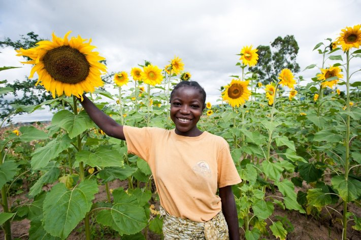 Sunflower in Dodoma