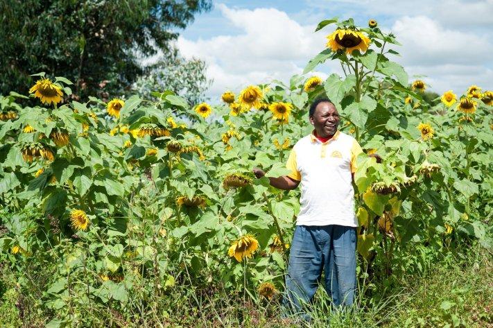 Sunflowers in Tanzania