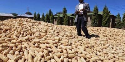 Maize harvest in Tanzania