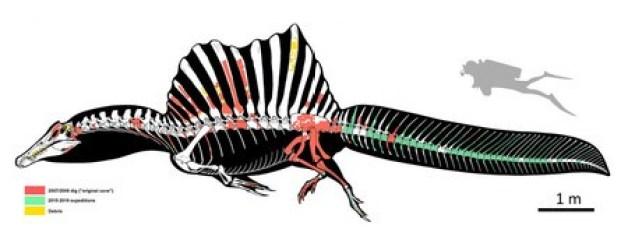 大型肉食恐竜スピノサウルスの骨格図解(右上は大きさ比較用のダイバー)。尾の部分の化石が新たに発見された(国際研究チームのマルコ・アウディトーレ氏提供)