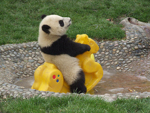 https://i1.wp.com/www.jillstanek.com/assets_c/2010/01/37275-11-baby-panda-thumb-500x375-8731.jpg?w=900