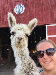 Old Homestead Alpacas: Llamas