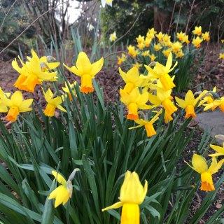 Finishing Challenge: Orange & Yellow Daffodils