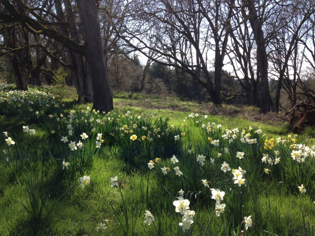 Reference Photo - Daffodils in the Woods