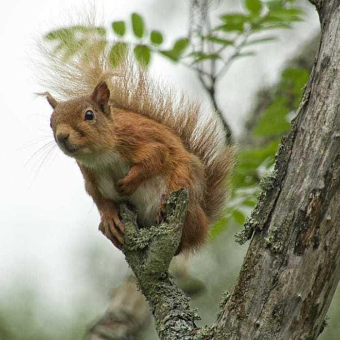 Scotland : Red Squirrels