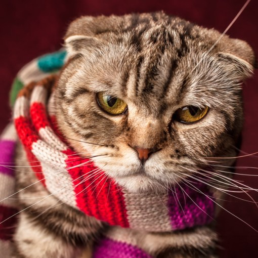 Cat in a Scarf