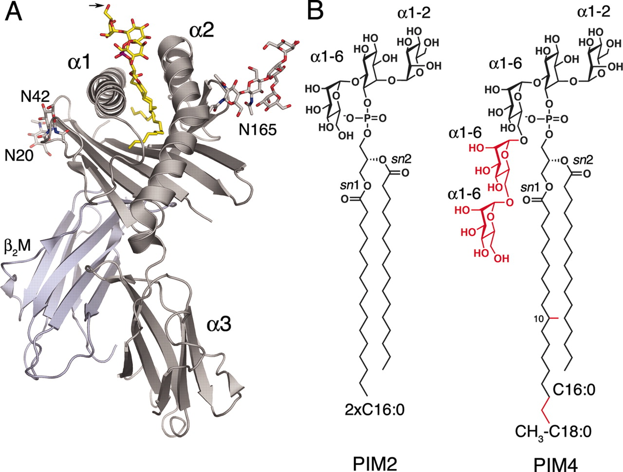 Structural Characterization Of Mycobacterial
