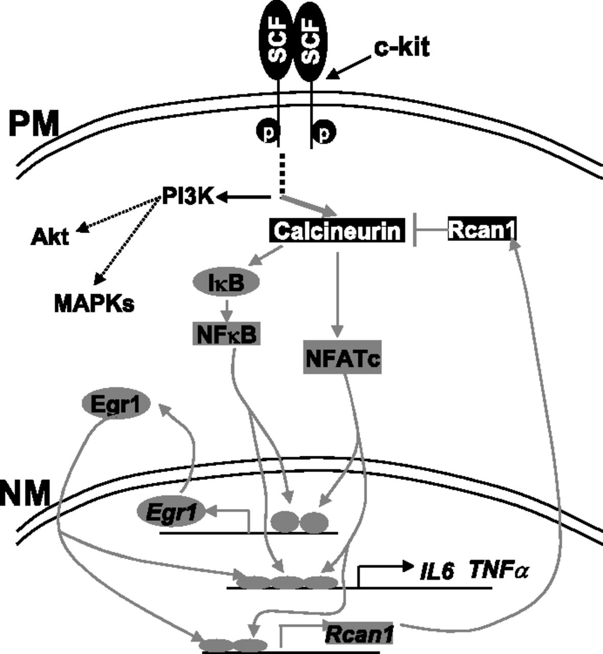 Valcote Blog Archive Calcineurin T Cell Activation