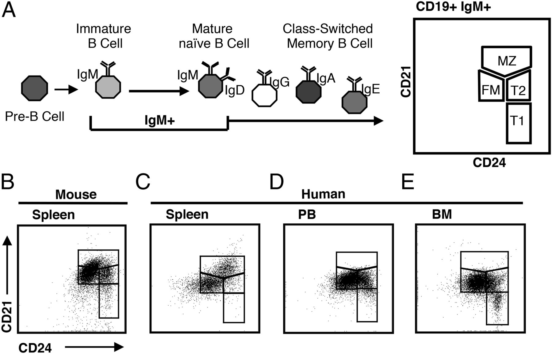 Differences In Mouse And Human Nonmemory B Cell Pools