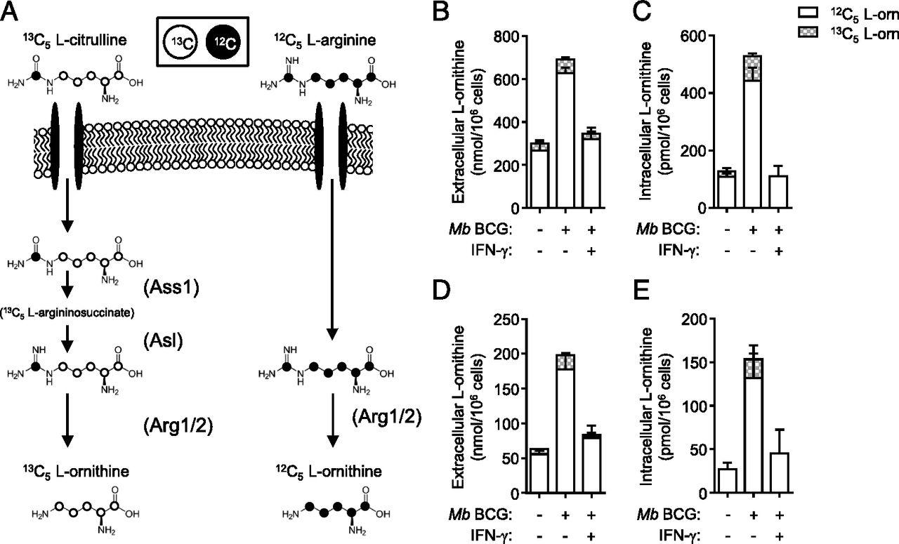Differential Requirements For L Citrulline And L Arginine During Antimycobacterial Macrophage