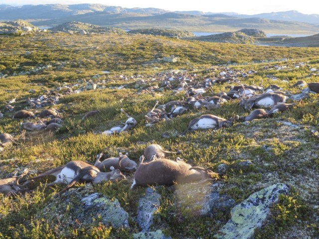 Reindeer_death_Norway_1