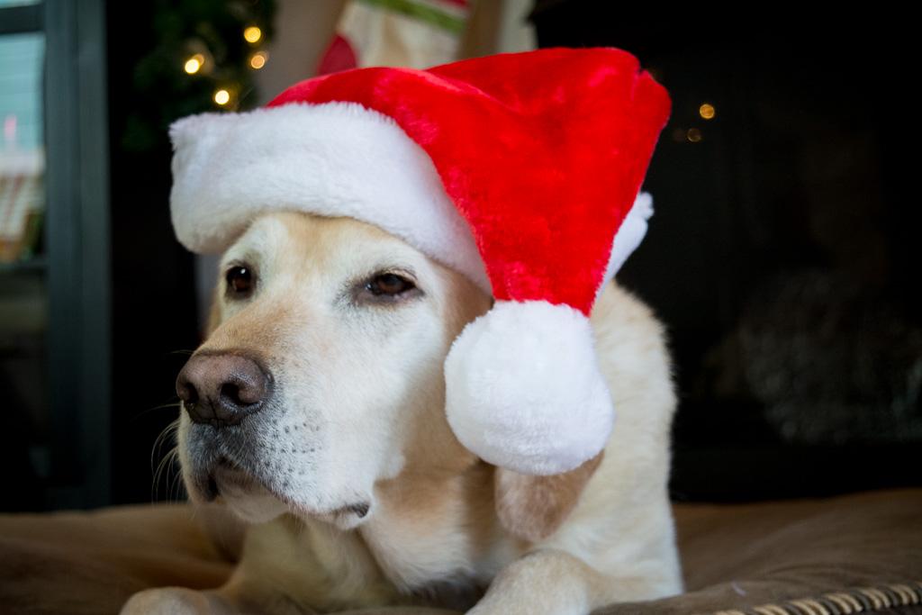 Sugar Dog in Christmas Hat