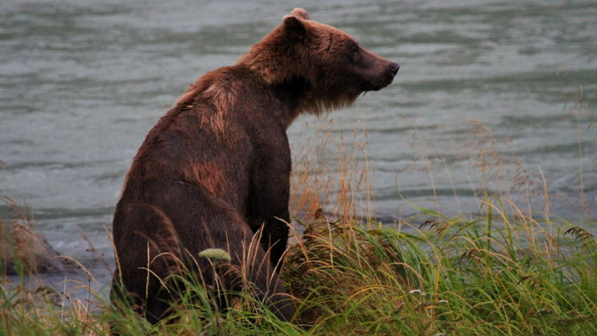 This is the Grizzly sow that made Fred give up his fly rod and grab his camera. She had two cubs with her, and a mama grizzly with cubs is not to be taken lightly.