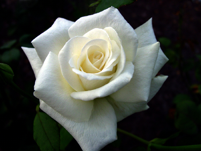 Purity Rose