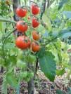 Zahrada, úroda, zelenina, rajčata, bio, permakultura, bez chemie, sklizeň