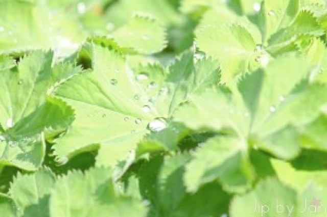Drops of water on the Lady's Mantle Jip by Jan