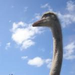 Ostrich profile / Burningwell