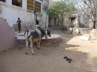 Cow and sadhus at Krishna Kunda