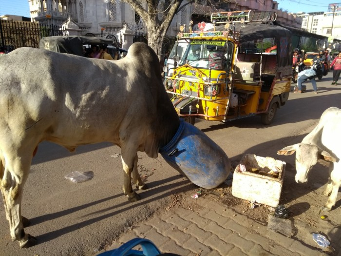 bull eats from garbage can