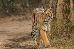 Bengal-Tiger - Corbett National park - Uttarakhand - India