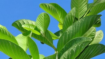 Glowing And Growing Hair With Guava Leaves